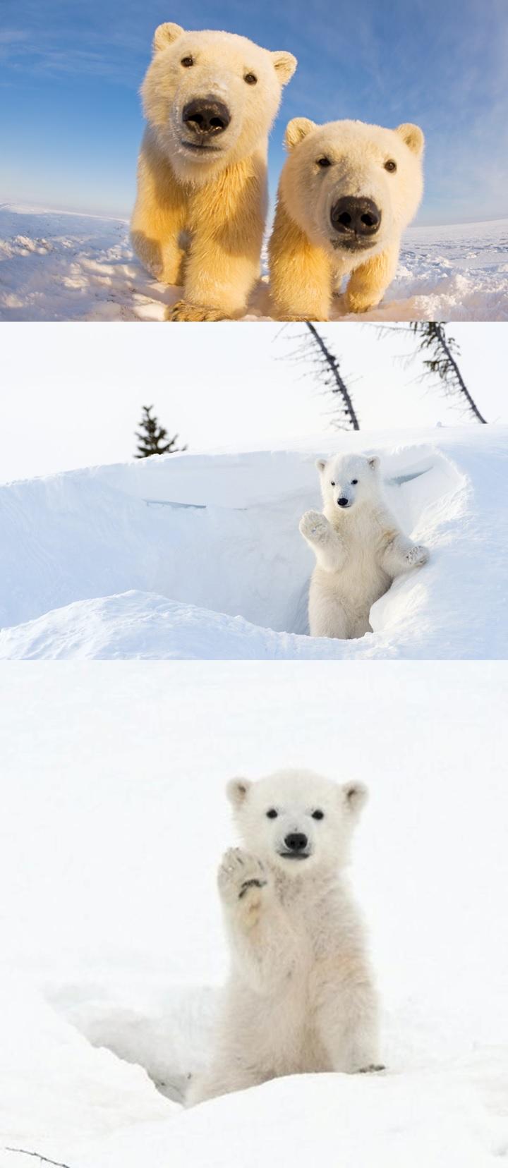 북극곰 귀여운 사진 1