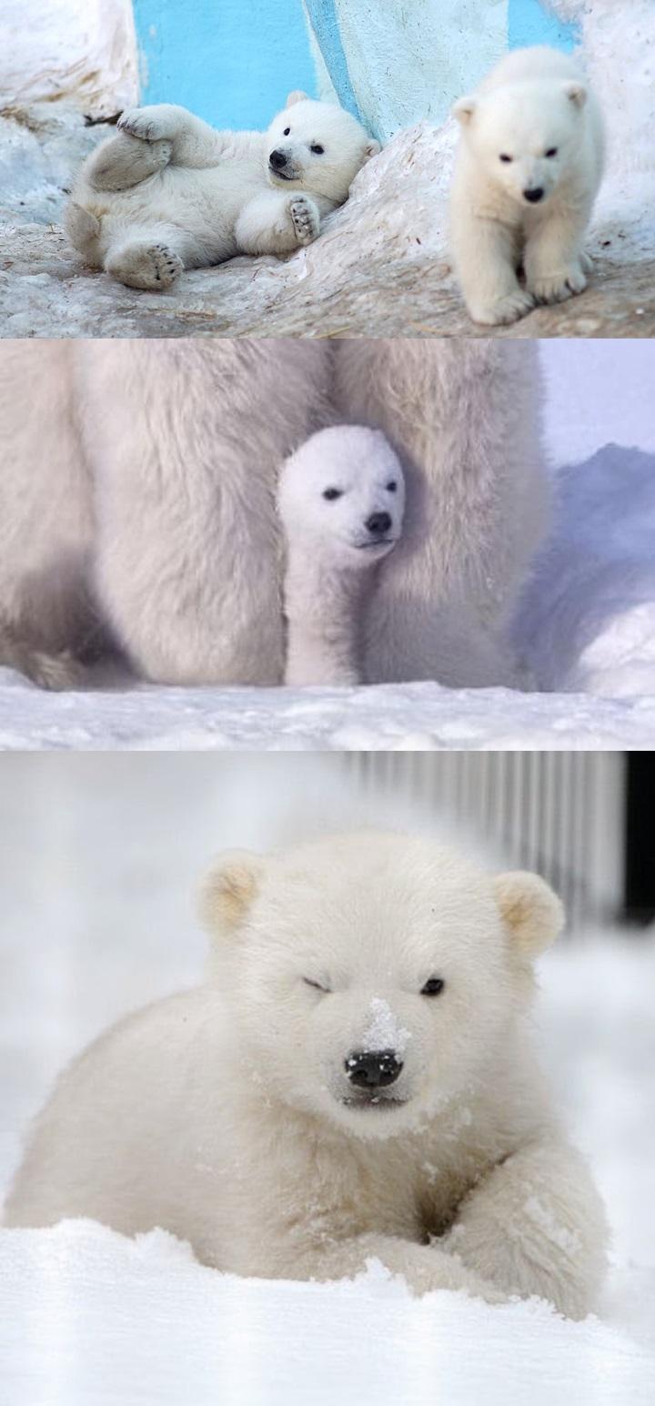 북극곰 귀여운 사진 4