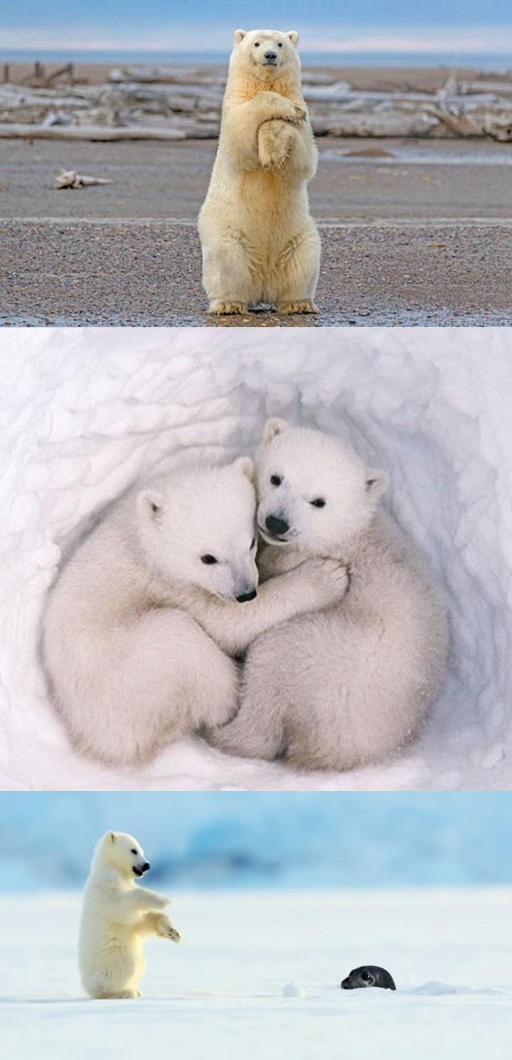 북극곰 귀여운 사진 3