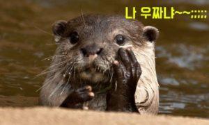 수달 귀여미 사진.jpg | 멸종위기 야생생물 1급 지정